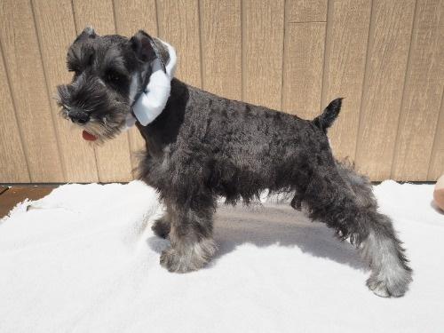 ミニチュアシュナウザーの子犬(ID:1255511318)の3枚目の写真/更新日:2020-03-14