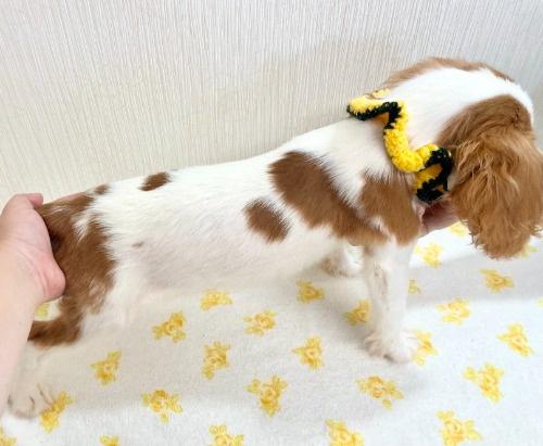 キャバリアの子犬(ID:1255511319)の2枚目の写真/更新日:2021-04-01