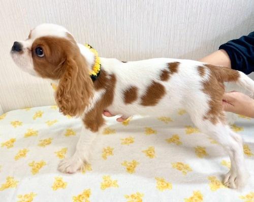 キャバリアの子犬(ID:1255511319)の3枚目の写真/更新日:2021-04-01