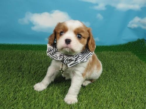 キャバリアの子犬(ID:1255511320)の1枚目の写真/更新日:2019-11-23