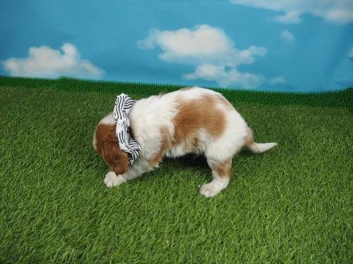 キャバリアの子犬(ID:1255511320)の3枚目の写真/更新日:2019-11-23