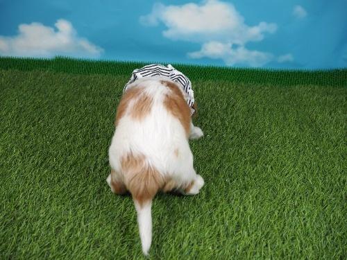 キャバリアの子犬(ID:1255511320)の4枚目の写真/更新日:2019-11-23
