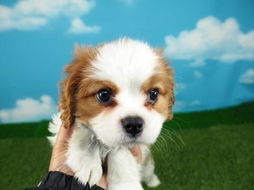 キャバリアの子犬(ID:1255511321)の1枚目の写真/更新日:2021-04-08