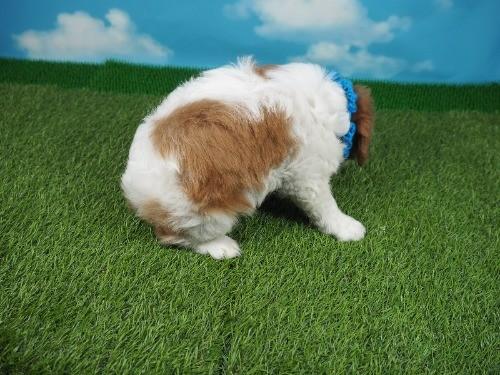 キャバリアの子犬(ID:1255511321)の2枚目の写真/更新日:2017-10-25