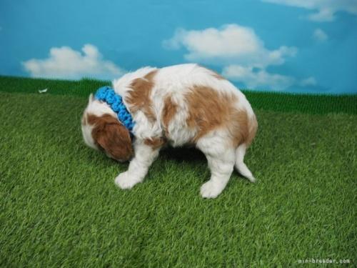 キャバリアの子犬(ID:1255511321)の3枚目の写真/更新日:2017-10-25