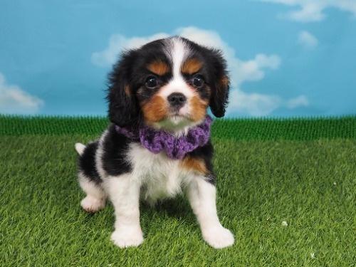 キャバリアの子犬(ID:1255511322)の1枚目の写真/更新日:2017-10-25