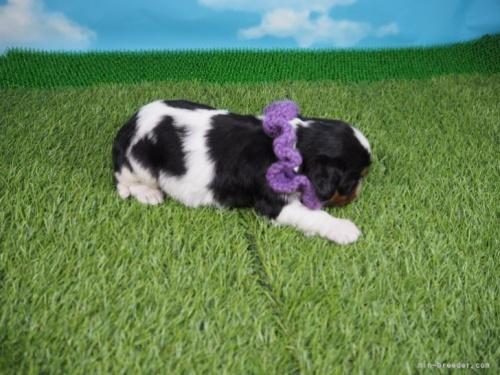 キャバリアの子犬(ID:1255511322)の2枚目の写真/更新日:2017-10-25