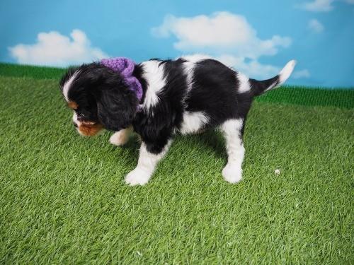 キャバリアの子犬(ID:1255511322)の3枚目の写真/更新日:2019-11-23
