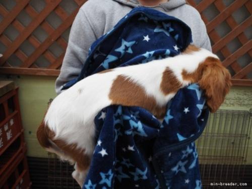 キャバリアの子犬(ID:1255511323)の2枚目の写真/更新日:2017-11-16