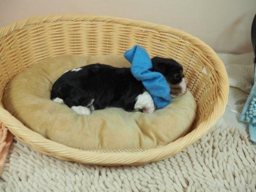 キャバリアの子犬(ID:1255511324)の2枚目の写真/更新日:2017-11-16