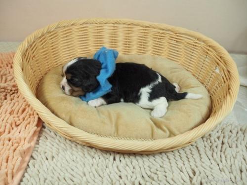 キャバリアの子犬(ID:1255511324)の3枚目の写真/更新日:2019-10-25