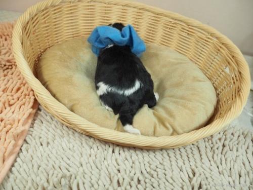 キャバリアの子犬(ID:1255511324)の4枚目の写真/更新日:2021-01-11