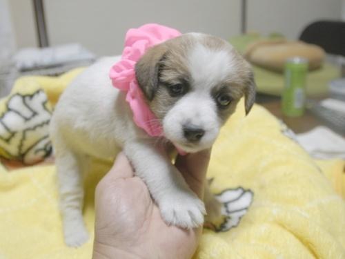 ジャックラッセルテリアの子犬(ID:1255511325)の2枚目の写真/更新日:2017-11-16