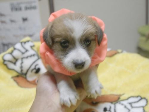 ジャックラッセルテリアの子犬(ID:1255511326)の1枚目の写真/更新日:2017-11-16