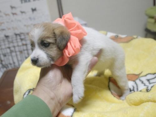 ジャックラッセルテリアの子犬(ID:1255511326)の3枚目の写真/更新日:2017-11-16