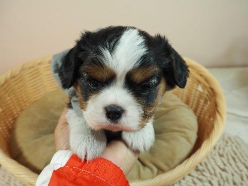キャバリアの子犬(ID:1255511327)の5枚目の写真/更新日:2021-08-26