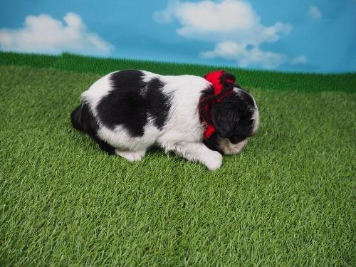 キャバリアの子犬(ID:1255511328)の2枚目の写真/更新日:2017-11-24
