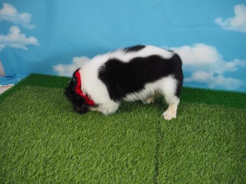 キャバリアの子犬(ID:1255511328)の3枚目の写真/更新日:2017-11-24
