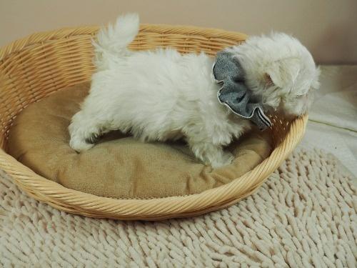 マルチーズの子犬(ID:1255511329)の2枚目の写真/更新日:2017-11-24
