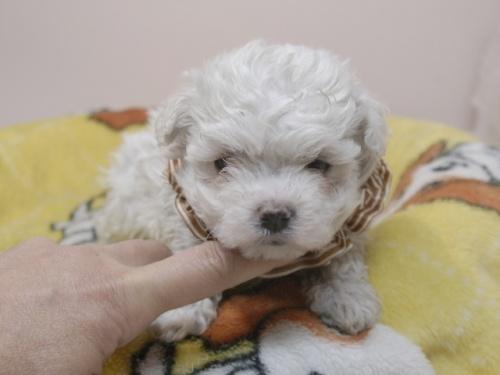 マルチーズの子犬(ID:1255511330)の1枚目の写真/更新日:2017-11-24