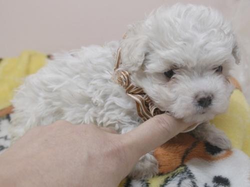 マルチーズの子犬(ID:1255511330)の2枚目の写真/更新日:2017-11-24