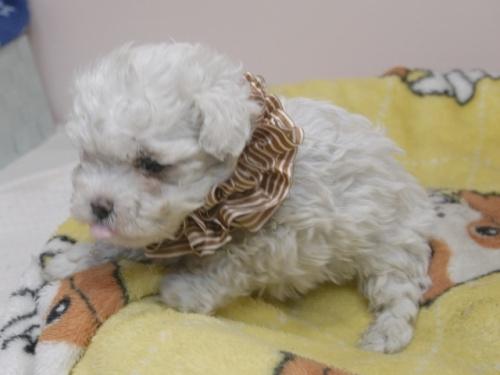 マルチーズの子犬(ID:1255511330)の3枚目の写真/更新日:2017-11-24