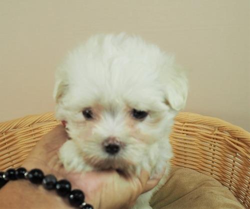 マルチーズの子犬(ID:1255511331)の1枚目の写真/更新日:2017-11-24