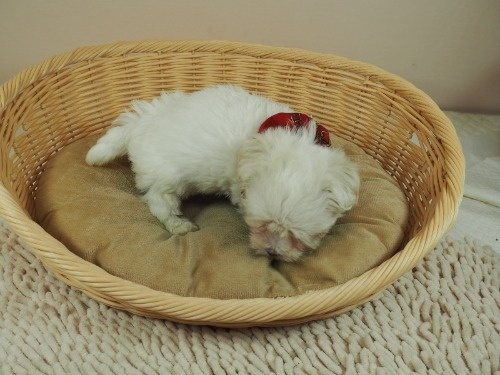 マルチーズの子犬(ID:1255511331)の2枚目の写真/更新日:2017-11-24