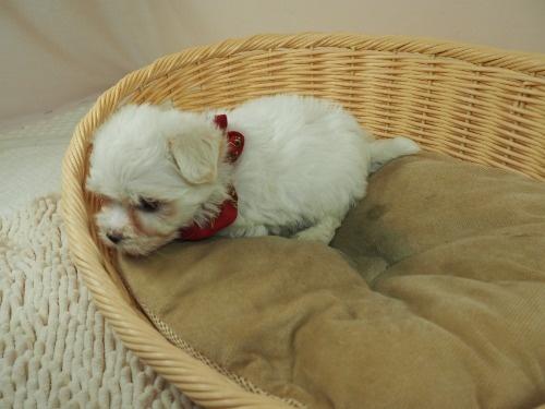 マルチーズの子犬(ID:1255511331)の3枚目の写真/更新日:2017-11-24