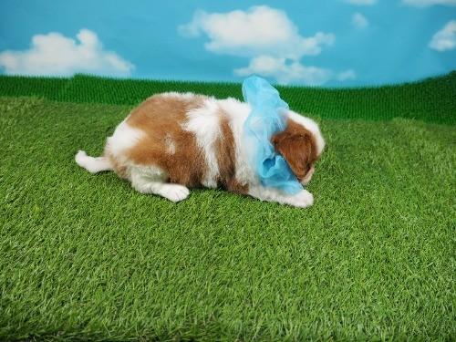キャバリアの子犬(ID:1255511333)の2枚目の写真/更新日:2021-01-11