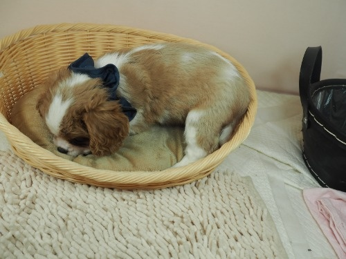 キャバリアの子犬(ID:1255511333)の3枚目の写真/更新日:2021-01-11