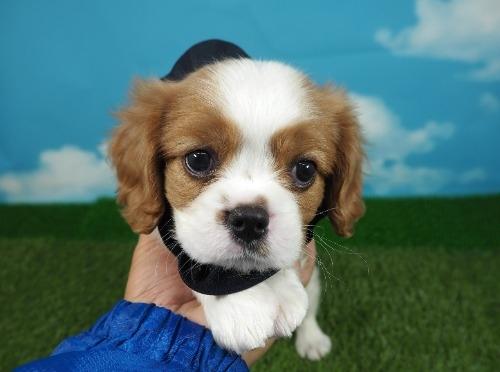 キャバリアの子犬(ID:1255511334)の1枚目の写真/更新日:2017-12-01