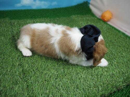 キャバリアの子犬(ID:1255511334)の2枚目の写真/更新日:2017-12-01