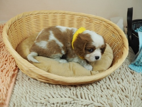 キャバリアの子犬(ID:1255511335)の2枚目の写真/更新日:2017-12-01