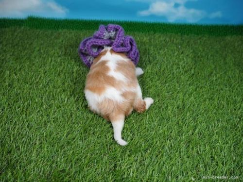 キャバリアの子犬(ID:1255511335)の4枚目の写真/更新日:2020-06-23