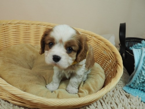 キャバリアの子犬(ID:1255511335)の5枚目の写真/更新日:2021-08-26