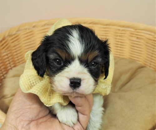 キャバリアの子犬(ID:1255511336)の1枚目の写真/更新日:2021-01-11