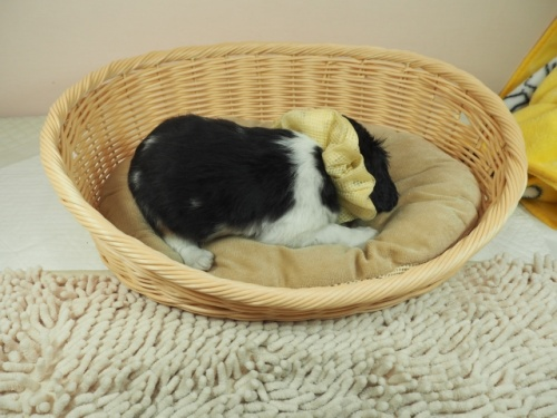 キャバリアの子犬(ID:1255511336)の2枚目の写真/更新日:2017-12-01