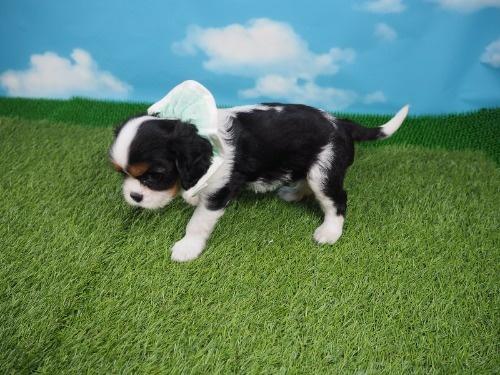キャバリアの子犬(ID:1255511336)の3枚目の写真/更新日:2021-01-11