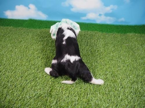 キャバリアの子犬(ID:1255511336)の4枚目の写真/更新日:2021-01-11