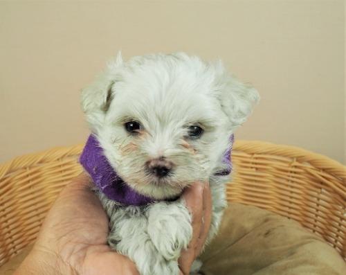 マルチーズの子犬(ID:1255511337)の1枚目の写真/更新日:2021-06-30
