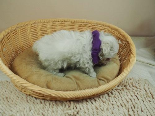 マルチーズの子犬(ID:1255511337)の2枚目の写真/更新日:2017-12-15