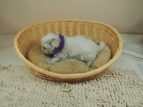 マルチーズの子犬(ID:1255511337)の3枚目の写真/更新日:2021-06-30
