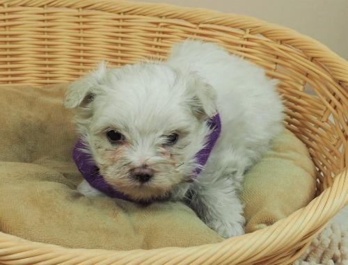 マルチーズの子犬(ID:1255511337)の4枚目の写真/更新日:2021-06-30