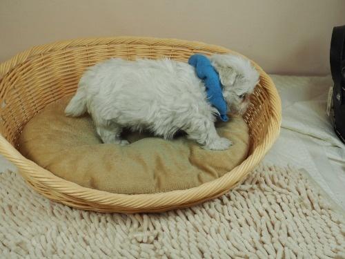 マルチーズの子犬(ID:1255511338)の2枚目の写真/更新日:2017-12-15