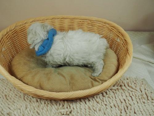 マルチーズの子犬(ID:1255511338)の3枚目の写真/更新日:2019-12-26