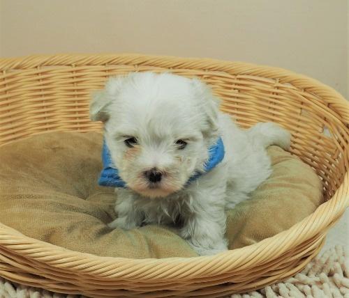 マルチーズの子犬(ID:1255511338)の5枚目の写真/更新日:2021-06-30