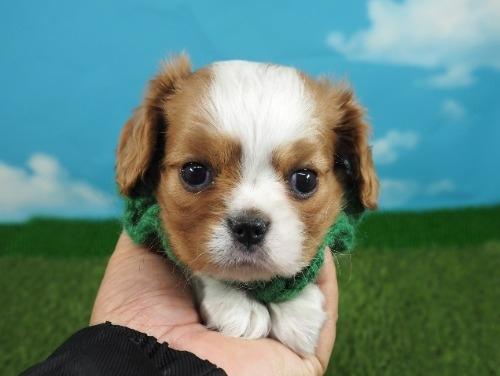 キャバリアの子犬(ID:1255511339)の4枚目の写真/更新日:2021-10-15