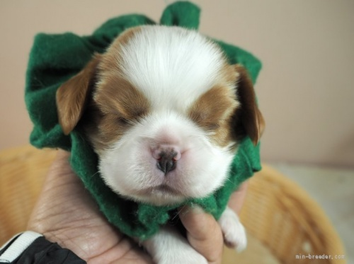 キャバリアの子犬(ID:1255511340)の1枚目の写真/更新日:2017-12-29