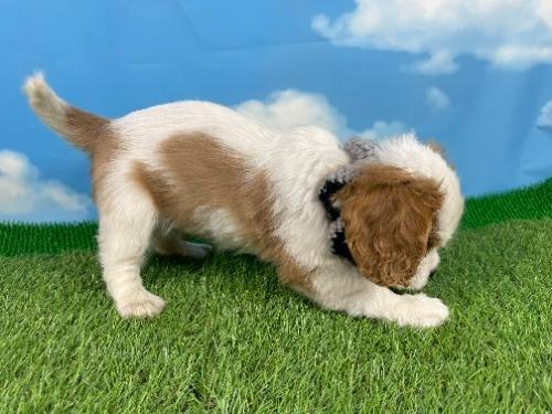 キャバリアの子犬(ID:1255511340)の2枚目の写真/更新日:2021-04-15